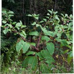 Permaculture: American Pokeweed (Phytolacca americana)
